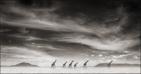 GIRAFFES UNDER SWIRLING CLOUDS, 2007